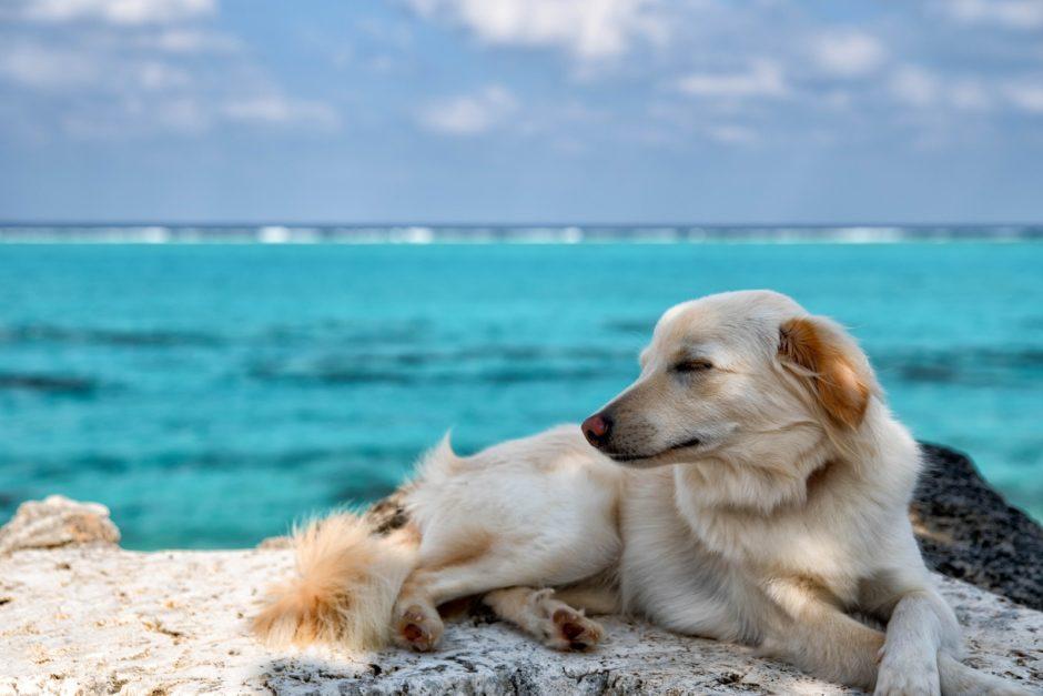 砂浜で潮風に吹かれるセントバーナード